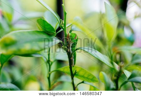 Butterfly caterpillar crawling up the the lemon tree