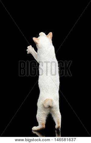 Funny Cat of Breed Mekong Bobtail without tail, Standing on Hind Legs to Catch prey Isolated Black Background, Color-point White Fur, Back view