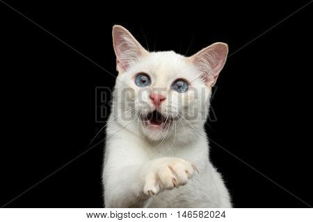 Close-up Portrait of Playful Mekong Bobtail Cat with Blue eyes, Opened mouth and Catching his paw, Isolated Black Background, Color-point White Fur