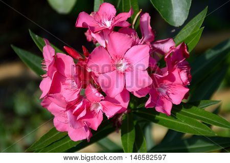 close up nerium oleander flower in nature garden