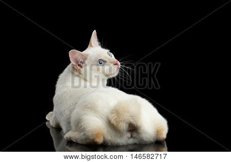 Curious Cat of Breed Mekong Bobtail without tail, Lying and Looking up, Isolated Black Background, Color-point White Fur, Back view