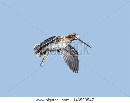 Common snipe (Gallinago gallinago) in flight with blue skies in the background