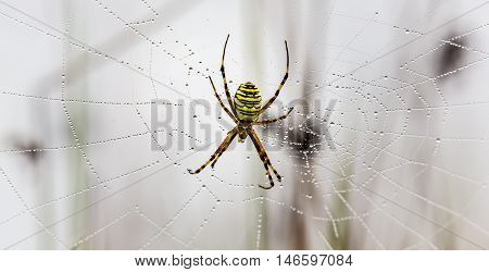 Wasp spider, Argiope, and spider web covered by water droplets and morning dew