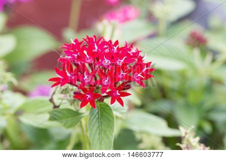 Red Egyptian Starcluster Or Star Flower