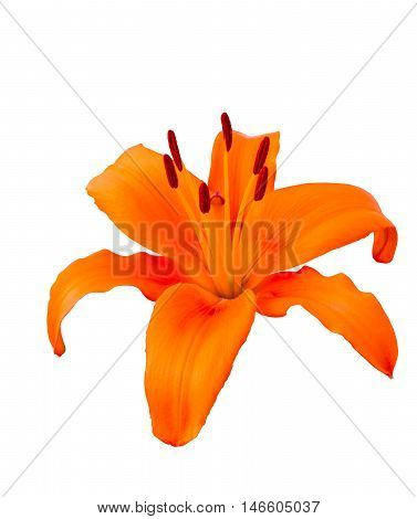 Orange lily isolated on white background., herbaceous flowering plants
