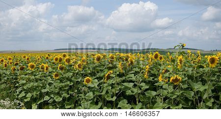 sunflower sun green field summer air clouds rays grass latitude