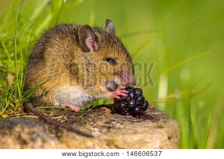 Wild Mouse Eating Blackberry