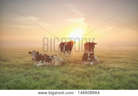 few cows relaxed on pasture at sunrise