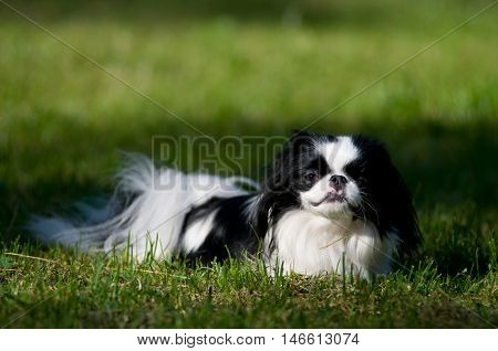 Japanese Chin portrait outdoor lying on green grass