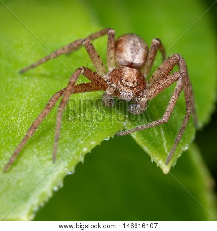 Hairy spider lurking for a catch on green leaf