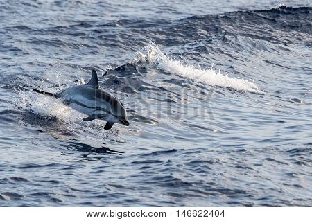 Dolphin While Jumping In The Deep Blue Sea
