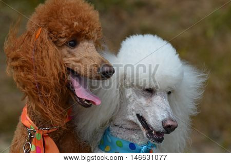 Groomed pair of standard poodles sitting together.