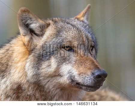 Portrait Of Dangerous Grey Wolf