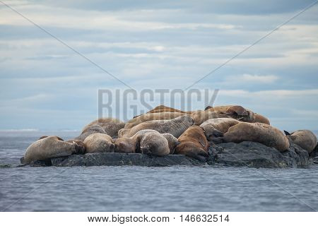 The walrus (Odobenus rosmarus) is a large flippered marine mammal with a discontinuous distribution about the North Pole in the Arctic Ocean