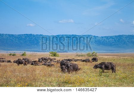 African buffalo in ngorongoro crater. The African buffalo or Cape buffalo (Syncerus caffer) is a large African bovine.