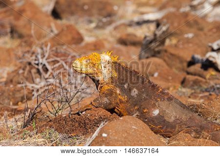 The Galapagos land iguana (Conolophus subcristatus) is a species of lizard in the family Iguanidae.