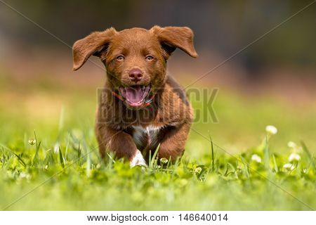 Little Dog Running With Flapping Ears
