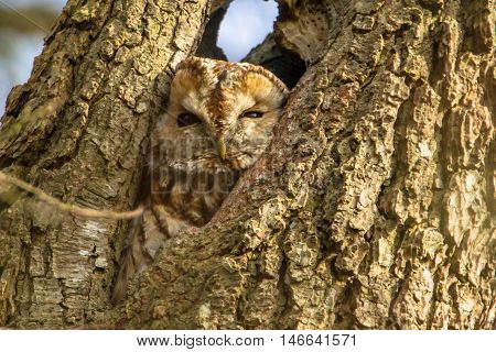 Brown Owl In A Tree Cavity