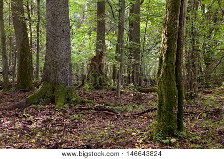 Summertime deciduous stand of Bialowieza Forest with dead trees partly declined and old hornbeam moss wrapped in foreground, Bialowieza Forest, Poland, Europe