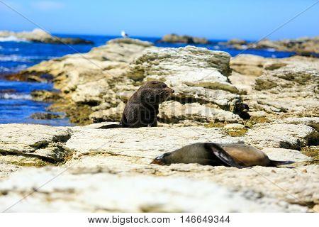 Wild Seals At Seal Colony Coastal In Kaikoura, New Zealand