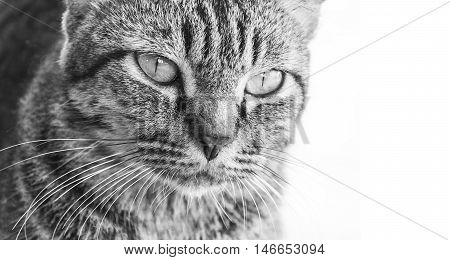 close up face formidable cat on white background.