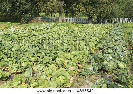 photo on a large field autumn cabbage