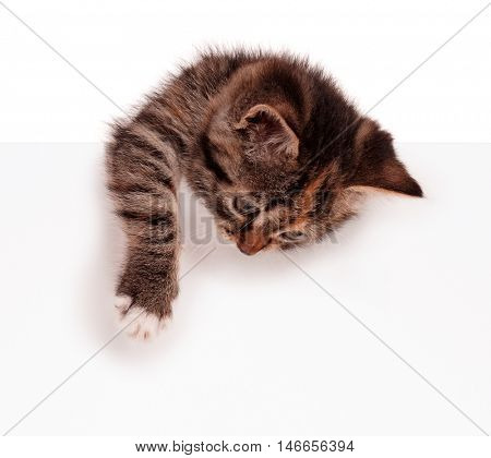 Cute kitten with blank sign. Lovely shorthair kitty holding banner with space for text. Young cat with blank billboard isolated on white background.
