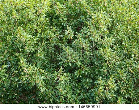 Oak (Quercus rubra) tree top with acorns background