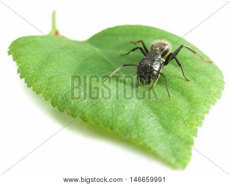 Macro Of Ant On Leaf