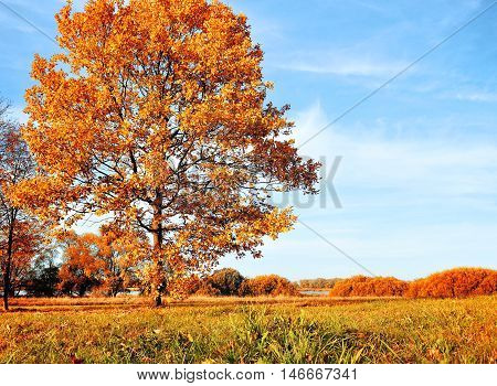 Autumn landscape with yellowed autumn trees. Autumn nature -decidious autumn oak in autumn sunny grove. Colorful autumn view of autumn field. Soft focus applied. Autumn nature in sunny weather.