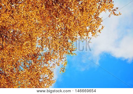 Autumn background - orange birch autumn leaves against blue sky. Autumn natural view with free space for text. Autumn birch branches on the background of the blue autumn sky in sunny autumn weather.