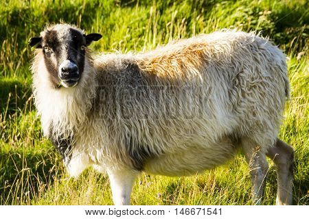 Wild sheep in the north Atlantic wilderness