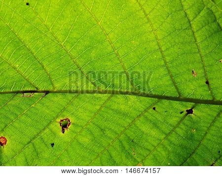 Texture of green leaf on deciduous tree in deciduous forest in wild nature during summer, green leaf background