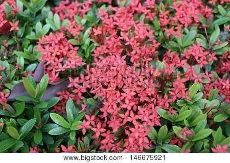 spike flower or Red ixora flowers bloom on tree in the public gardenTropical plants Flowering throughout year.