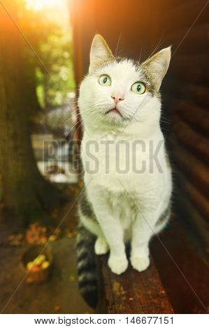 siberian cat sit on the country house porch on the summer garden background