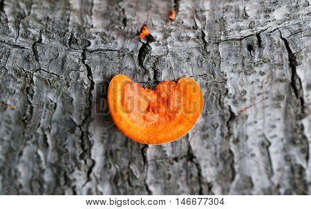 parasitic orange shelf (chicken of the woods) mushroom growing on dead tree stump
