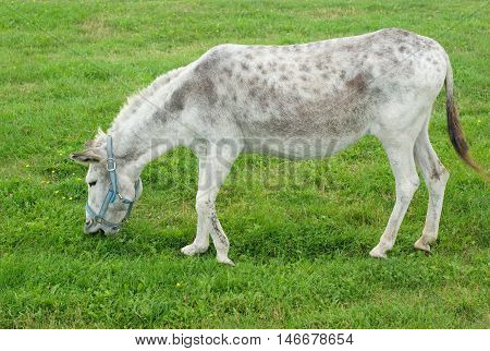 gray donkey eating grass in a field
