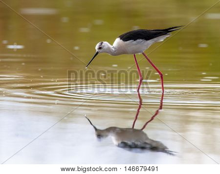 Foraging Common Stilt