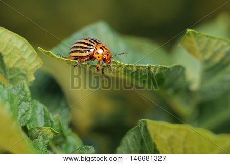 Colorado potato beetle eats a potato leaf