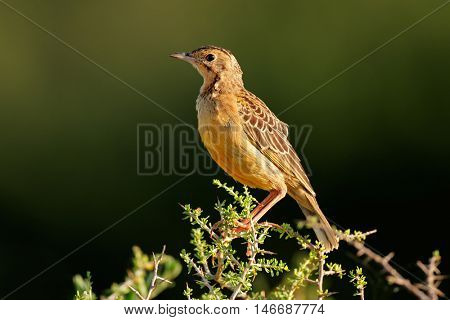 An orange-throated longclaw (Macronyx capensis) sitting on a branch, South Africa