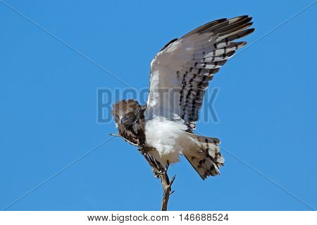 Black-breasted snake eagle (Circaetus gallicus) with open wing, Kalahari, South Africa