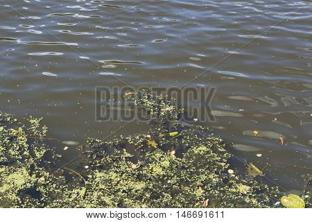 Swamp algae. Green algae patterns on the water.Green swamp