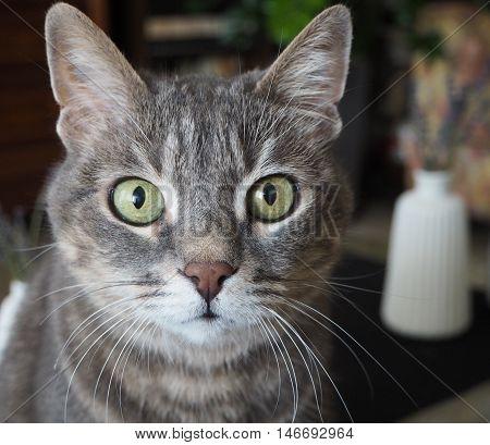 Gatto in primo piano che guarda con curiosità
