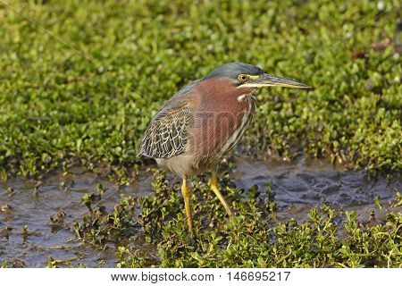 Green Heron in a Wetland Marsh near Port Aransas texas