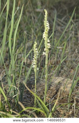 Autumn Ladys Tresses - Spiranthes spiralis Two flowers in Cyprus Forest