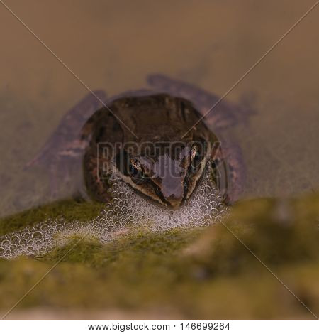A small frog with bubbles in a pond.