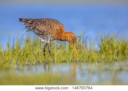 Foraging Black Tailed Godwit Wader Bird