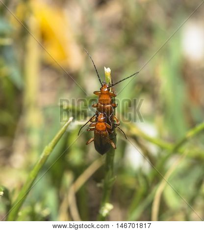 Two Common Red Soldier Beetle (Rhagonycha fulva) mating