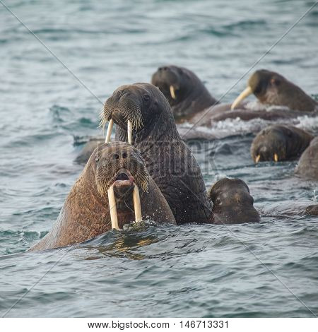 sealions group in wildlife. in marine life.