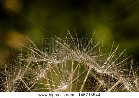 Closeup Of Dandelion Seeds Against A Mottled Green Background